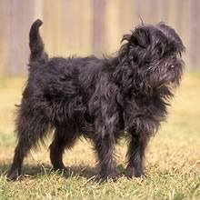 Affenpinscher Photos