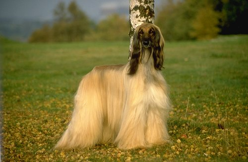 Afghan Hound pictures...