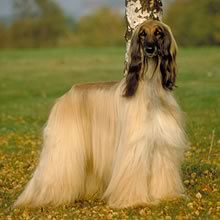 Afghan Hound Photo Gallery...