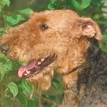 Airedale Terrier Photo Gallery...