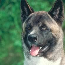 Puppyfind Akita Puppies For