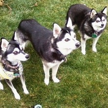 Alaskan Klee Kai Photos