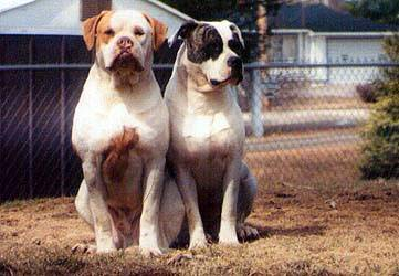 American Bulldog pictures...