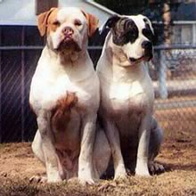 American Bull Dog Photos