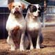 American Bulldog Dog Breed Profile...