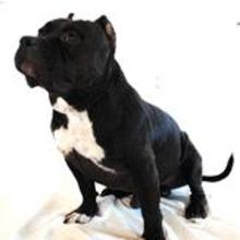 PuppyFind | American Bully Puppies for Sale