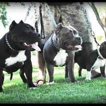 Puppyfind American Bully Puppies For Sale