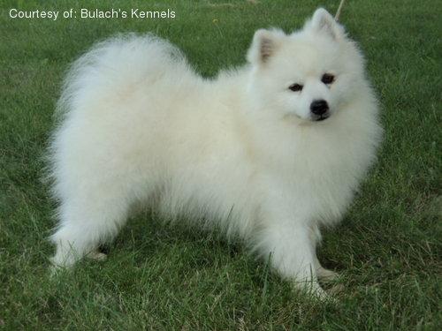 american eskimo dog pictures