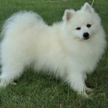 American Eskimo Dog Photos