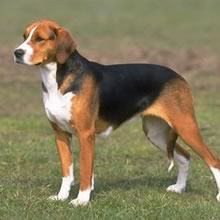 American Foxhound Photos