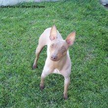 PuppyFind   American Hairless Terrier Puppies for Sale
