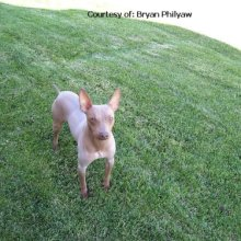 American Hairless Terrier Photos
