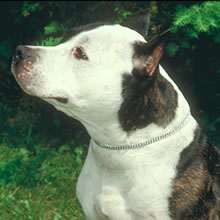 American Staffordshire Terrier Photo Gallery...