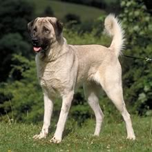 Puppyfind Anatolian Shepherd Puppies For Sale