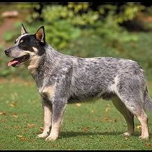 Blue Heeler Dogs for Sale