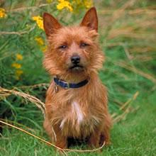 Puppyfind Australian Terrier Puppies For Sale