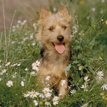 Australian Terrier Photos
