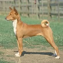 Puppyfind Basenji Puppies For Sale