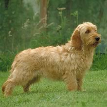 Basset Fauve de Bretagne Photo Gallery...