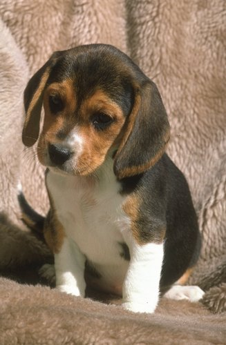Beagle pictures...
