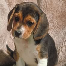 Beagle Photo Gallery...