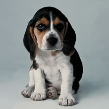 Pocket Beagle Puppies For Sale