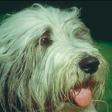 PuppyFind | Bearded Collie Puppies for Sale