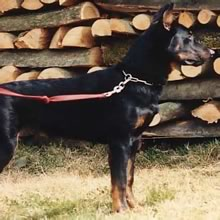 Beauceron Photos