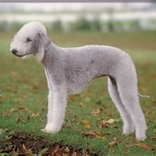Bedlington Terrier Photos