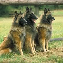 Belgian Shepherd Photos