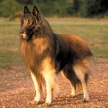 Tervuren Belgian Shepherd Photos