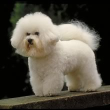 Bichon Frise Photo Gallery...