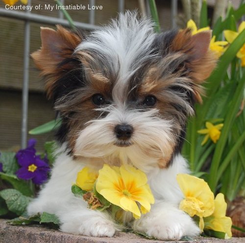 yorkie mixed puppies for sale mn biewer pictures emja4x0a07 3551