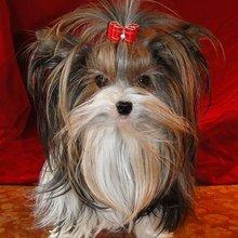 Puppyfind Biewer Puppies For Sale