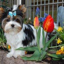 biewer dog breed profile biewer pictures biewer puppies for sale