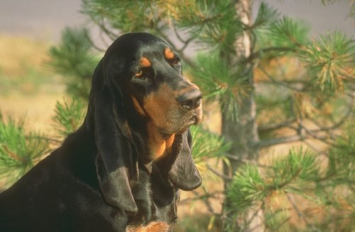 Black And Tan Coonhound Pictures