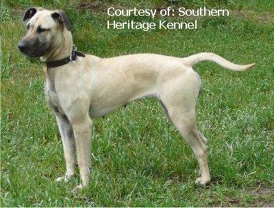 Black Mouth Cur Dogs For Sale In Arkansas