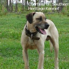 Black Mouth Cur Photos
