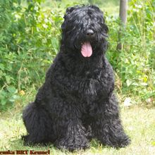 Black Russian Terrier Photos