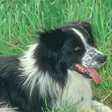 Border Collie Photo Gallery...