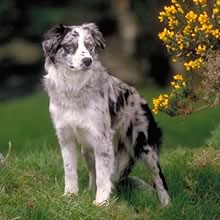 Puppyfind Border Collie Puppies For Sale