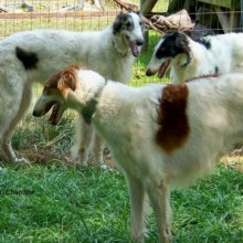 Borzoi Photos
