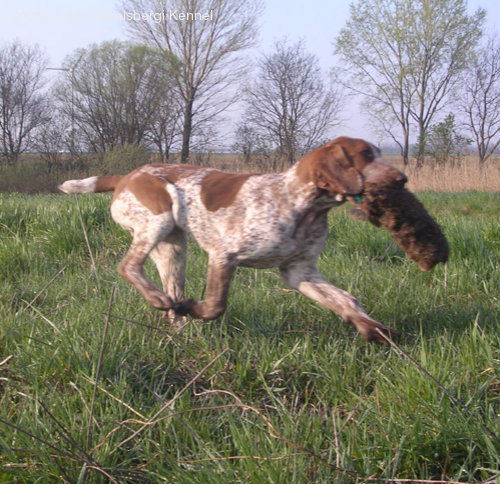 five bracco italiano dogs - photo #45
