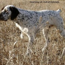 French Pointer Photos