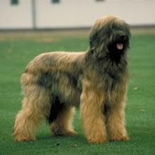 Puppyfind Briard Puppies For Sale
