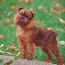 Brussels Griffon Photos