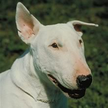 Bull Terrier Photos
