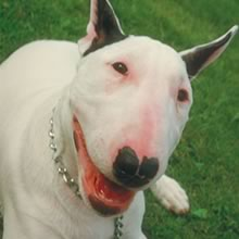 English Bull Terrier Photos