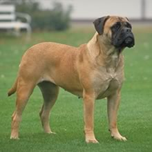Bullmastiff Photos