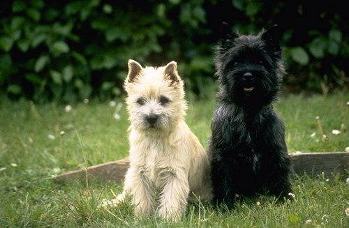 Cairn Terrier pictures...